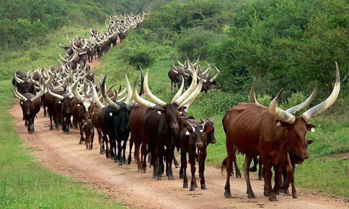 Ankole Traditional and Cultural Experiences in Uganda